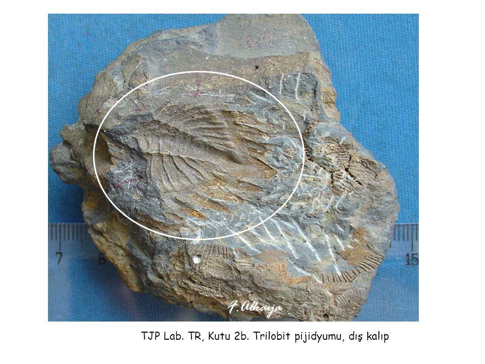TJP Lab. TR, Kutu 2b. Trilobit pijidyumu, dış kalıp