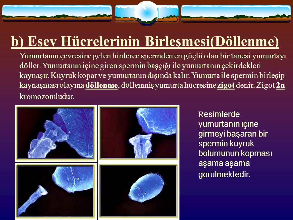 www.fendosyasi.com b) Eşey Hücrelerinin Birleşmesi(Döllenme) Yumurtanın çevresine gelen binlerce spermden en güçlü olan bir tanesi yumurtayı döller. Y