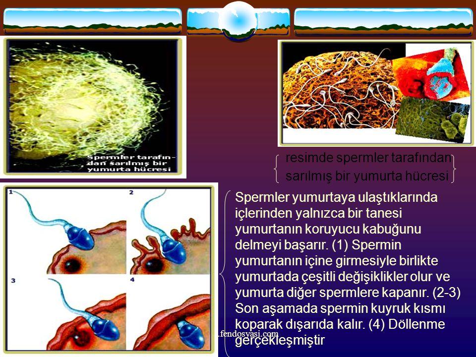 www.fendosyasi.com resimde spermler tarafından sarılmış bir yumurta hücresi Spermler yumurtaya ulaştıklarında içlerinden yalnızca bir tanesi yumurtanı