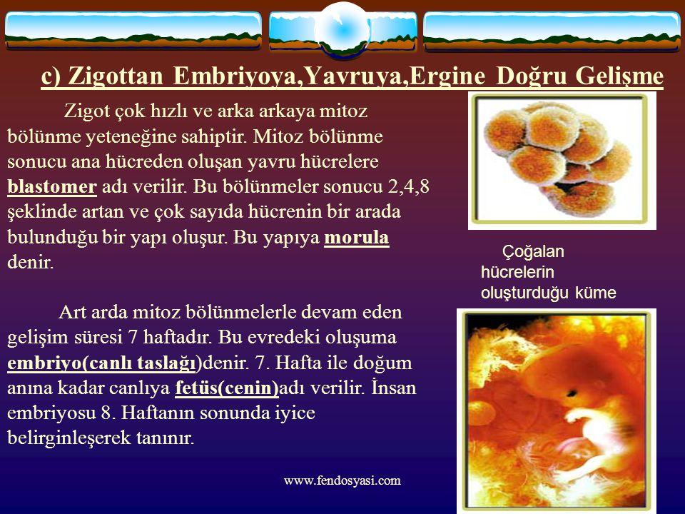 www.fendosyasi.com c) Zigottan Embriyoya,Yavruya,Ergine Doğru Gelişme Zigot çok hızlı ve arka arkaya mitoz bölünme yeteneğine sahiptir. Mitoz bölünme