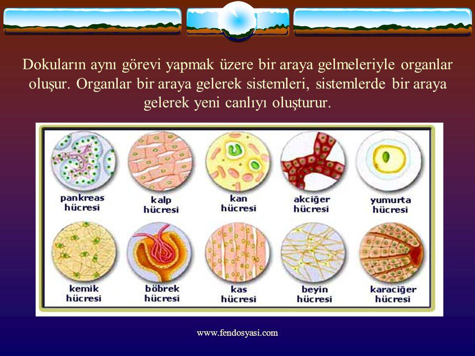 www.fendosyasi.com Dokuların aynı görevi yapmak üzere bir araya gelmeleriyle organlar oluşur. Organlar bir araya gelerek sistemleri, sistemlerde bir a