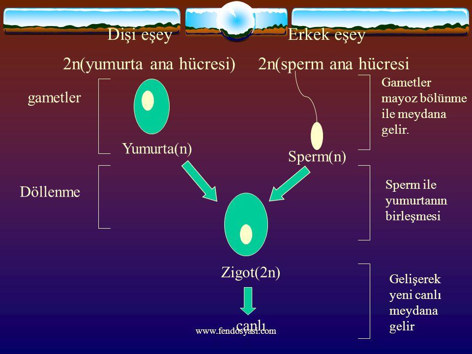 www.fendosyasi.com Dişi eşey Erkek eşey 2n(yumurta ana hücresi) 2n(sperm ana hücresi Zigot(2n) Yumurta(n) Sperm(n) gametler Döllenme canlı Gametler ma