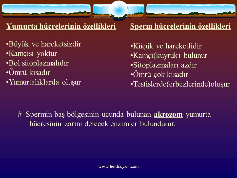 www.fendosyasi.com Yumurta hücrelerinin özellikleri Sperm hücrelerinin özellikleri Büyük ve hareketsizdir Kamçısı yoktur Bol sitoplazmalıdır Ömrü kısa