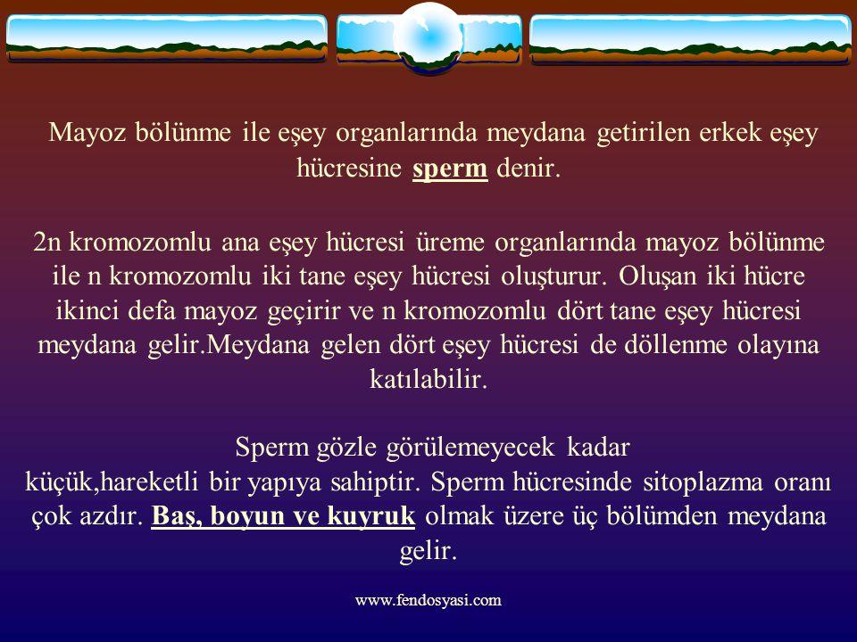 www.fendosyasi.com Mayoz bölünme ile eşey organlarında meydana getirilen erkek eşey hücresine sperm denir. 2n kromozomlu ana eşey hücresi üreme organl