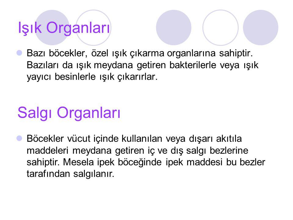 Işık Organları Bazı böcekler, özel ışık çıkarma organlarına sahiptir.