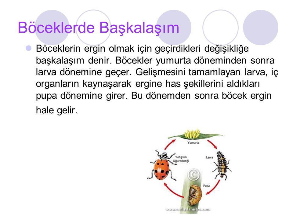Böceklerde Başkalaşım Böceklerin ergin olmak için geçirdikleri değişikliğe başkalaşım denir.