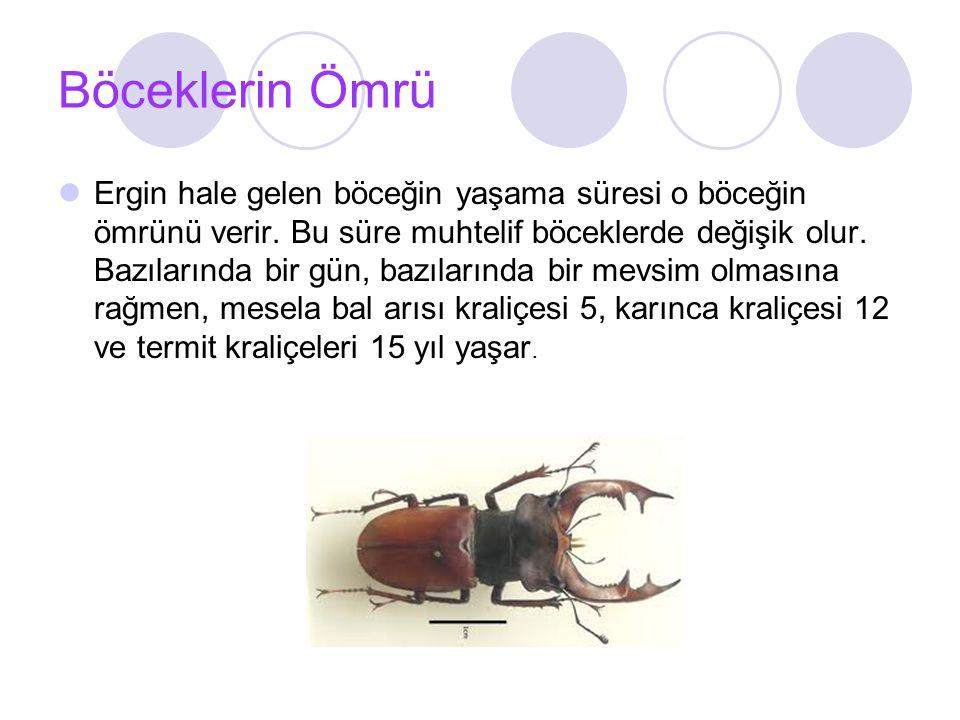 Böceklerin Ömrü Ergin hale gelen böceğin yaşama süresi o böceğin ömrünü verir.