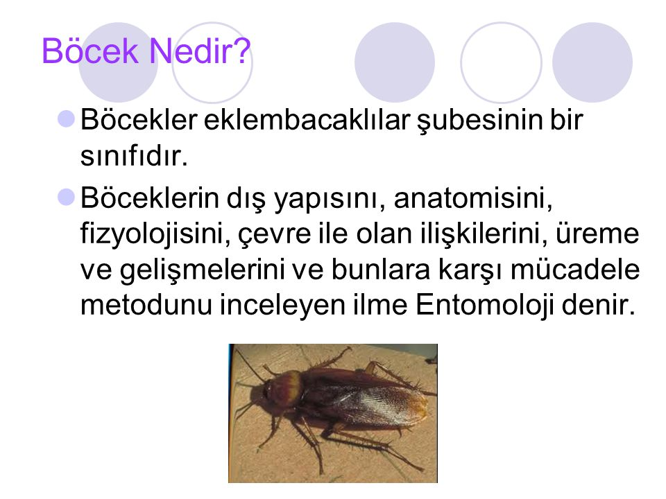 Böceklerin Vücut Yapısı Baş,göğüs ve karın olmak üzere üç bölümden meydana gelmiştir.