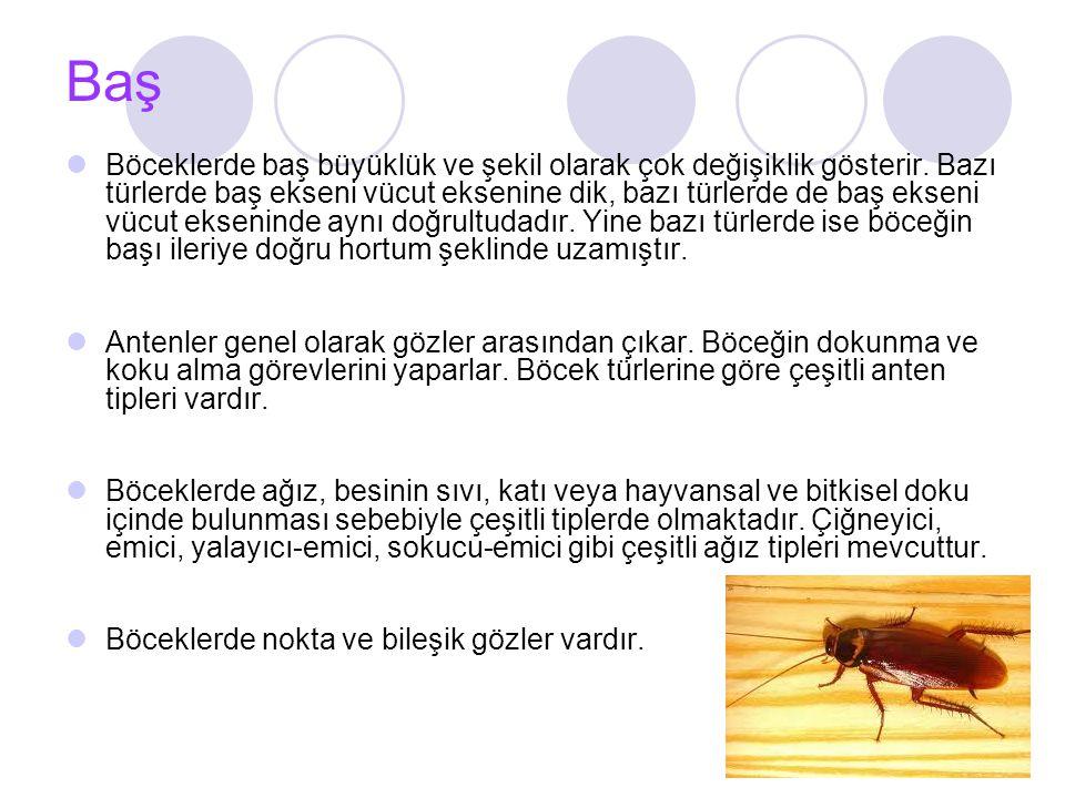 Baş Böceklerde baş büyüklük ve şekil olarak çok değişiklik gösterir.