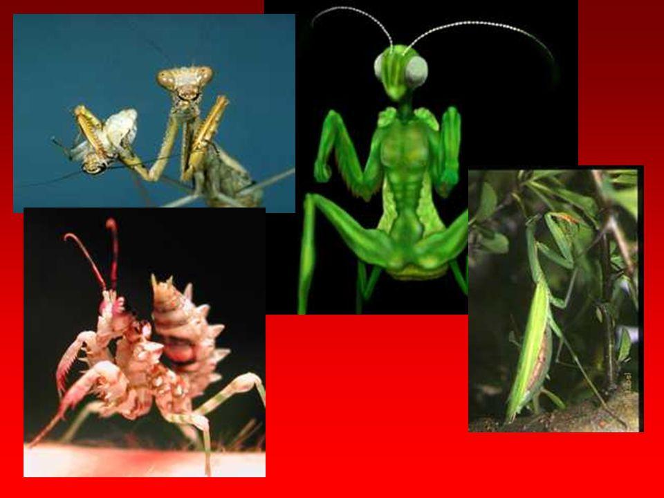 Dictyoptera Subordo: Blattodea
