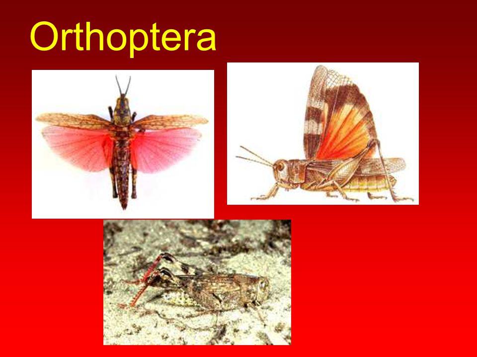 Phasmida Phyllum spp.