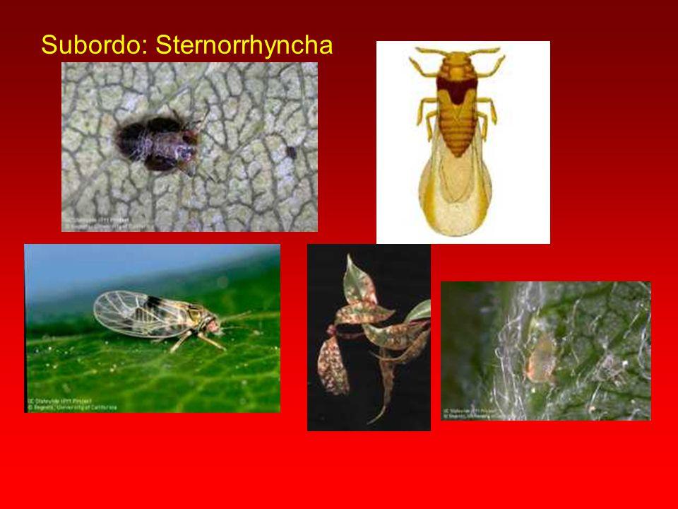 Membracidae