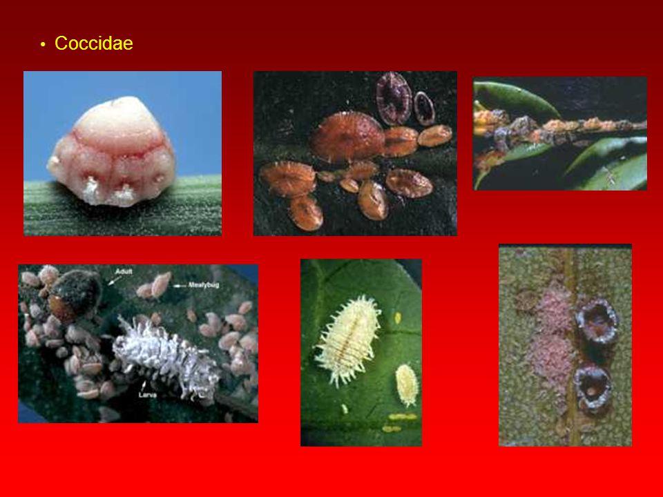 Subfamilya:Coccoidea (Koşniller)