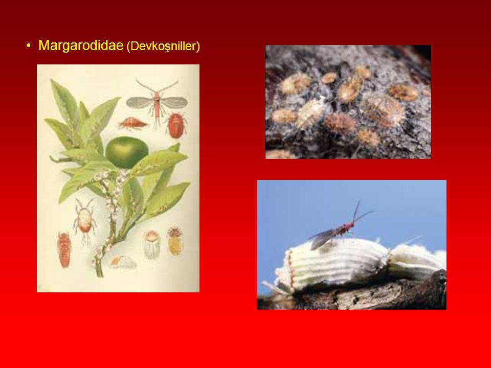 Coccidae