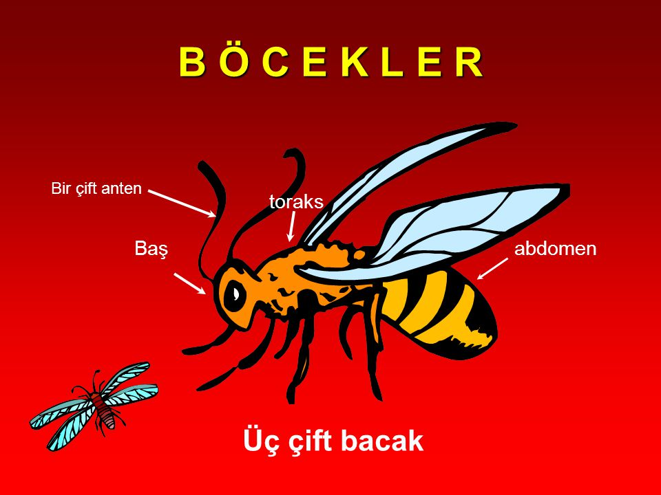 Geometridae Abdomenleri ince, bacakları uzun, kanatları narin ve kırılgandır.