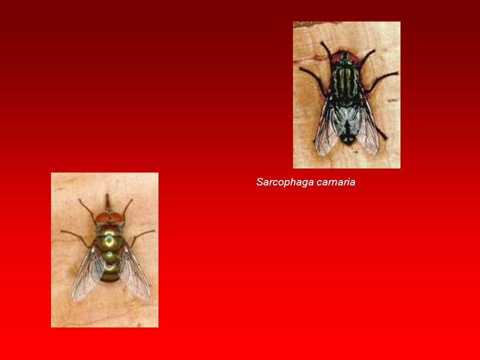 Tabanus bovinus Chrysops spp.
