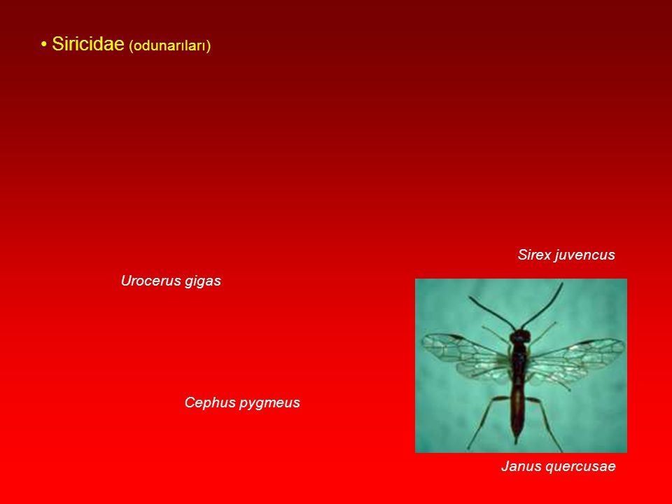 Pamphilidae Cimbicidae