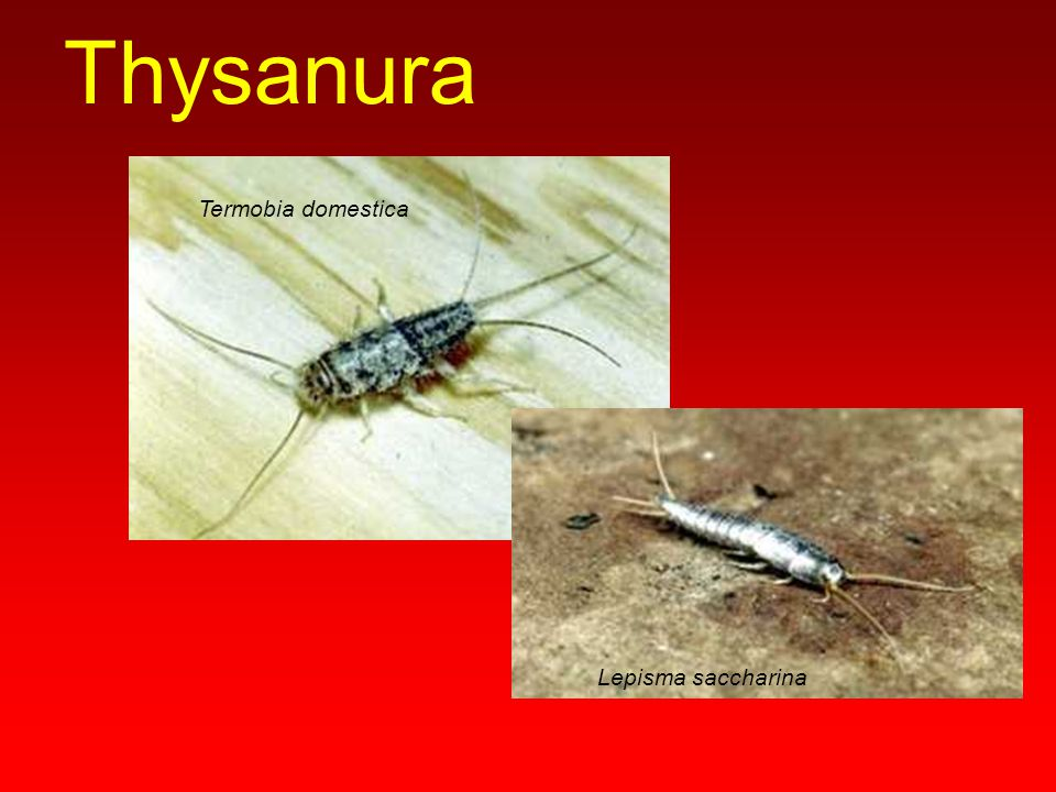 Siricidae (odunarıları) Urocerus gigas Sirex juvencus Cephus pygmeus Janus quercusae