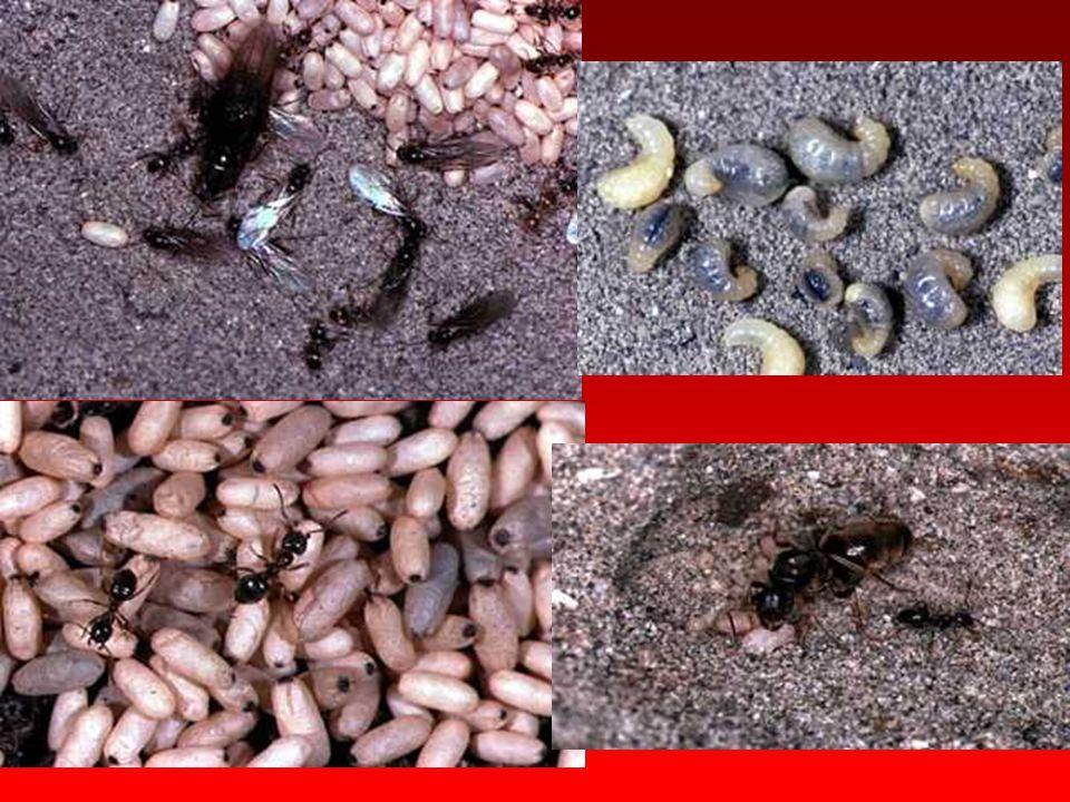 Formicidae Baş kuvvetli yapıda, anten dirsekli tipte ve 10-12 segmentli olup tatma, koklama ve nem algılama organları içerir. Pronotum iri yapıda, kre