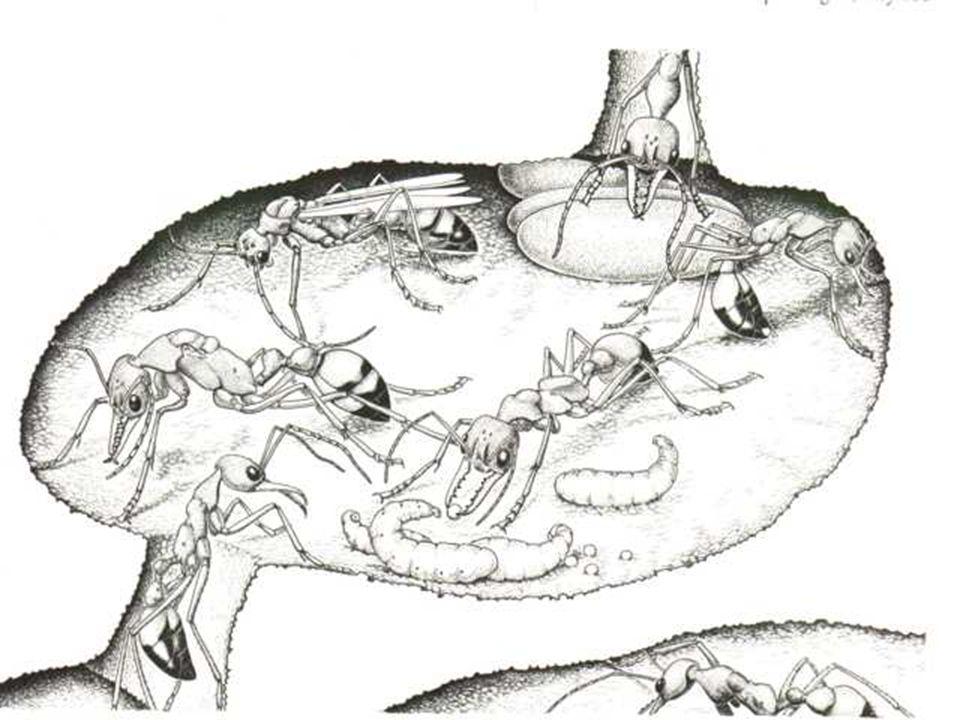 Kurulma aşaması Çiftleşme uçuşu ile başlar Dişi bir ya da daha fazla erkekle çiftleşebilir. Erkek çiftleşmenin hemen arkasından ölür. Dişi yuva için u