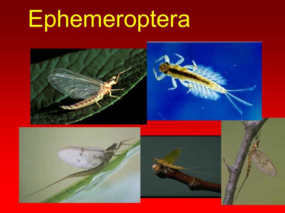 Thysanura Lepisma saccharina Termobia domestica