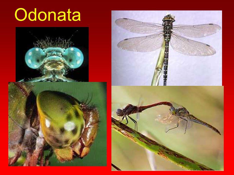 Pompilidae Abdomenleri uzun yapıda olup, arka famurların uzunluğu abdomen sonuna ulaşır.