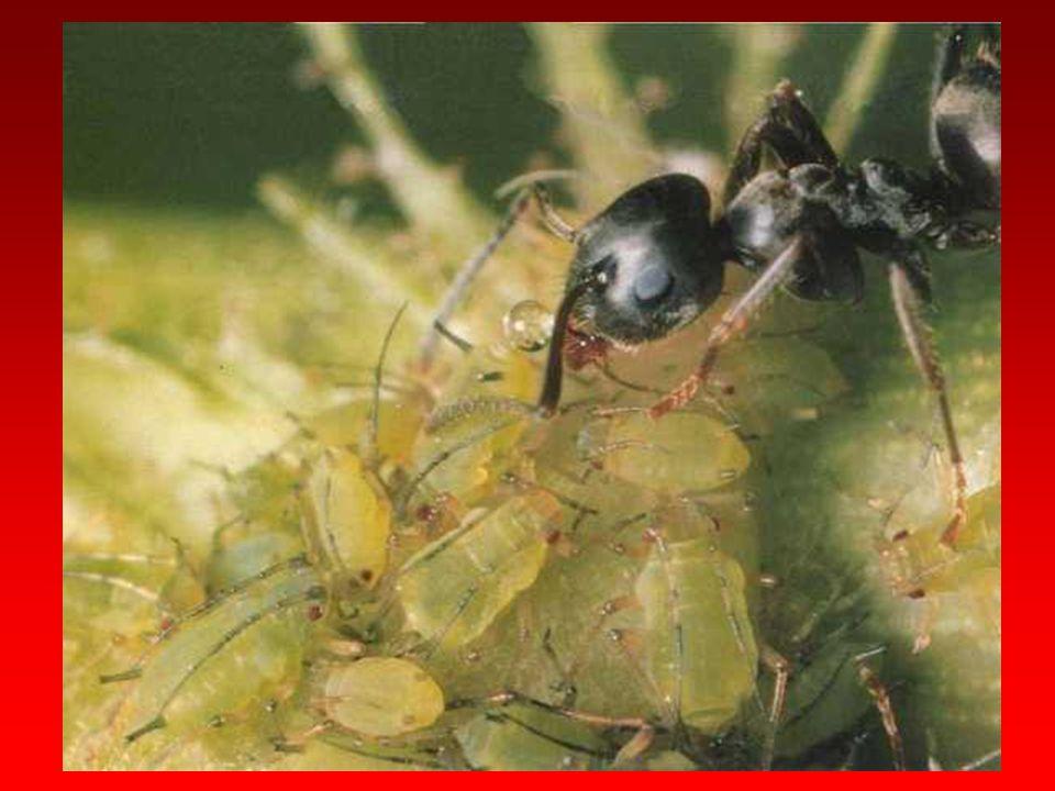 Iridomyrmex işçileri Eurymela (Homoptera) nimfi