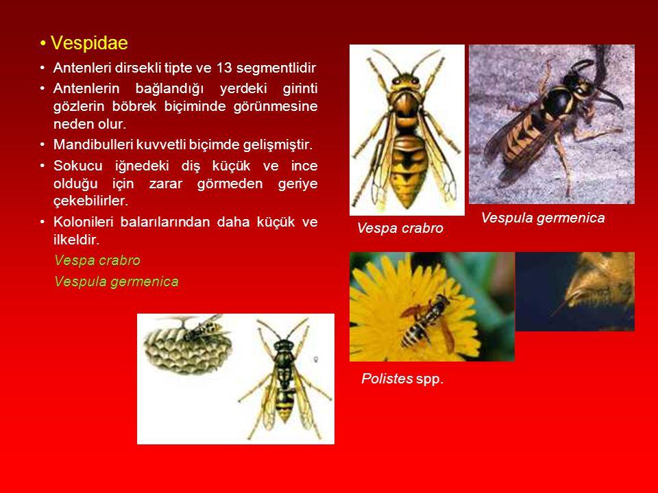 Pompilidae Abdomenleri uzun yapıda olup, arka famurların uzunluğu abdomen sonuna ulaşır. Bazı grupların dişileri ön bacaklarında dikenlerle donanmış t