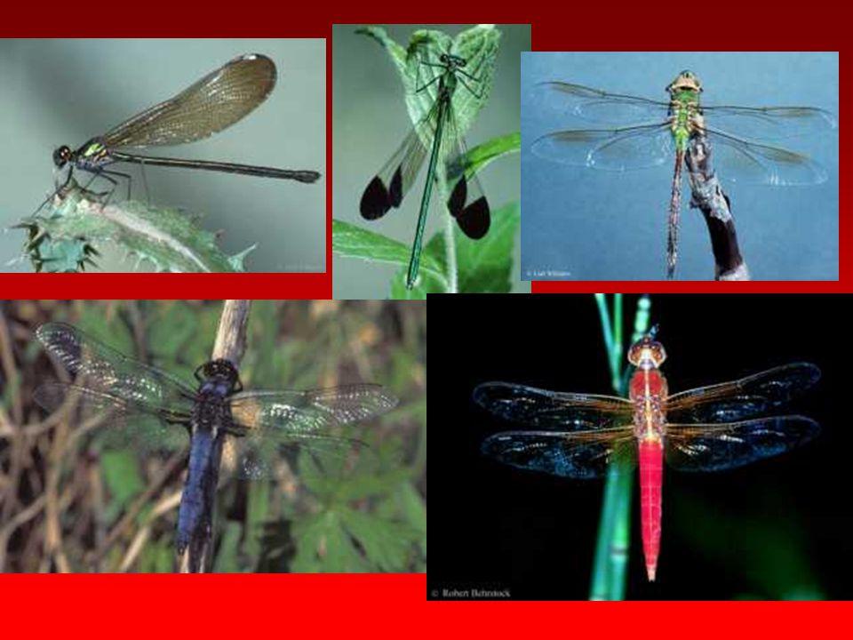Vespidae Antenleri dirsekli tipte ve 13 segmentlidir Antenlerin bağlandığı yerdeki girinti gözlerin böbrek biçiminde görünmesine neden olur.
