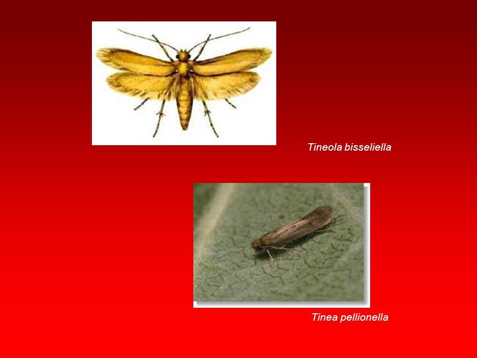 Apidae Vücutları geniş olup pronotum lateral kenarları kanat dibine ulaşmaz. Mandibuller gelişmiş ayrıca labium bir emme hortumu oluşturacak tarzda uz