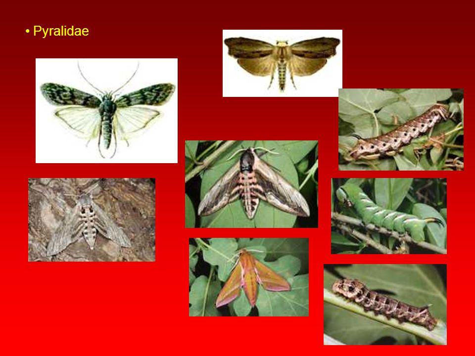 Tortricidae Ön kanatlar daha dar ve uçta kesik yapıda olup kısa tüylüdür. Tırtıllar beslendikleri yaprakları rulo biçiminde bükerler. Meyve, sap ve kö