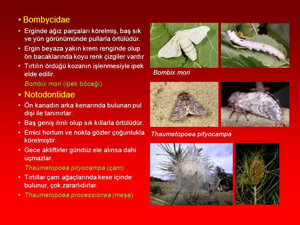Geometridae Abdomenleri ince, bacakları uzun, kanatları narin ve kırılgandır. Cinsel dimorfizm görülür; dişide kanatlar kısa veya körelmiş, antenler e