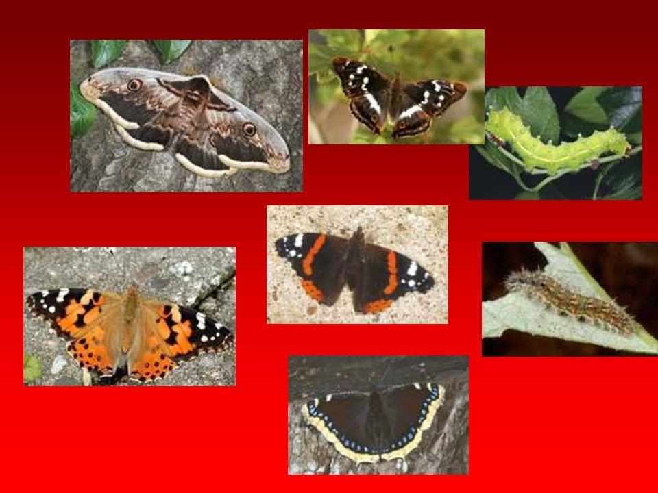 Bombycidae Erginde ağız parçaları körelmiş, baş sık ve yün görünümünde pullarla örtülüdür. Ergin beyaza yakın krem renginde olup ön bacaklarında koyu
