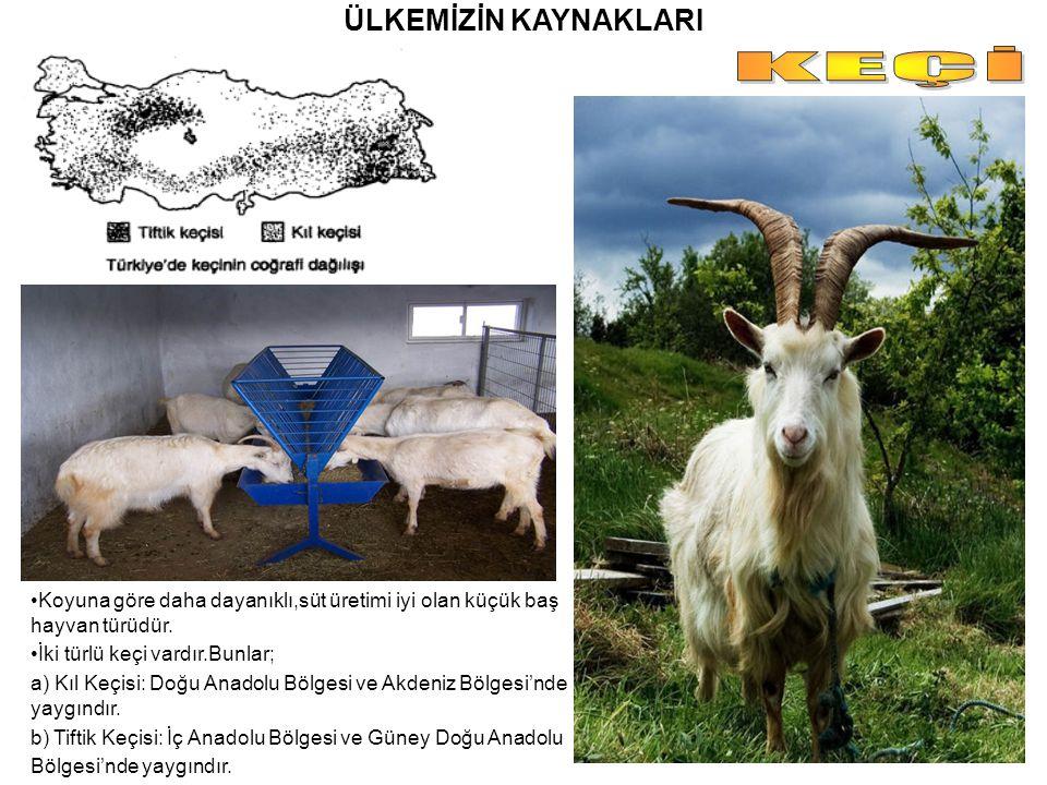 ÜLKEMİZİN KAYNAKLARI Koyuna göre daha dayanıklı,süt üretimi iyi olan küçük baş hayvan türüdür. İki türlü keçi vardır.Bunlar; a) Kıl Keçisi: Doğu Anado