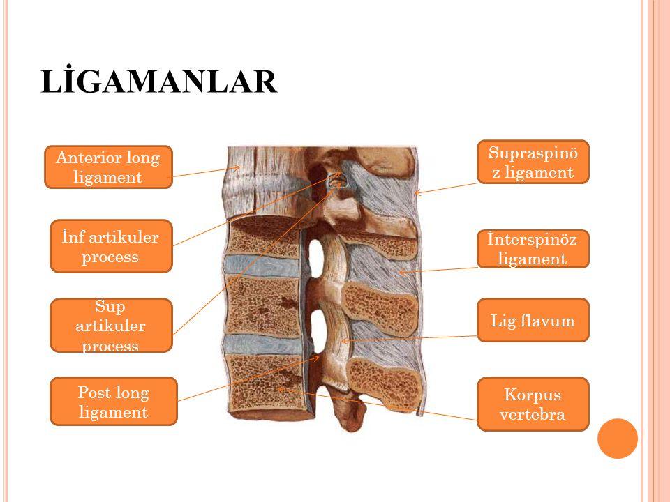 LİGAMANLAR Anterior long ligament Post long ligament Korpus vertebra İnterspinöz ligament Supraspinö z ligament Lig flavum İnf artikuler process Sup artikuler process