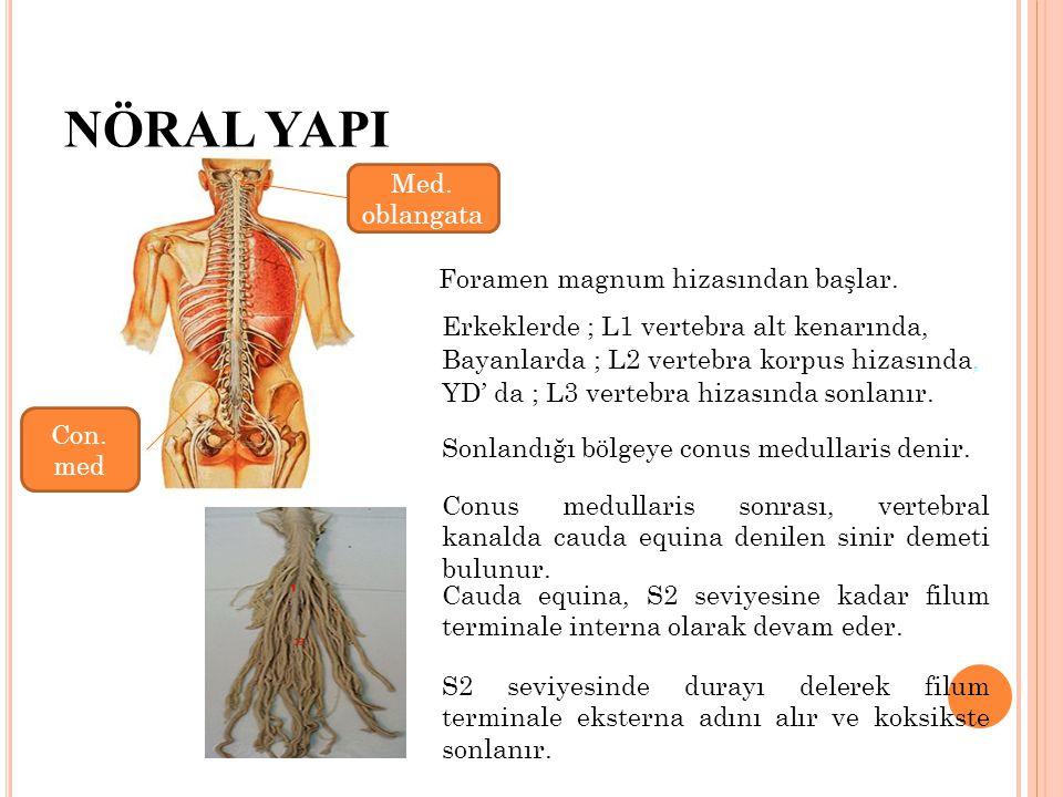 NÖRAL YAPI Foramen magnum hizasından başlar. Erkeklerde ; L1 vertebra alt kenarında, Bayanlarda ; L2 vertebra korpus hizasında, YD' da ; L3 vertebra h