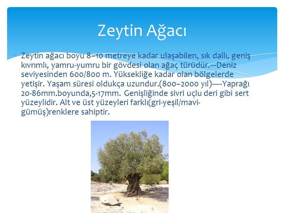  Zeytin ağacı boyu 8–10 metreye kadar ulaşabilen, sık dallı, geniş kıvrımlı, yamru-yumru bir gövdesi olan ağaç türüdür.---Deniz seviyesinden 600/800 m.