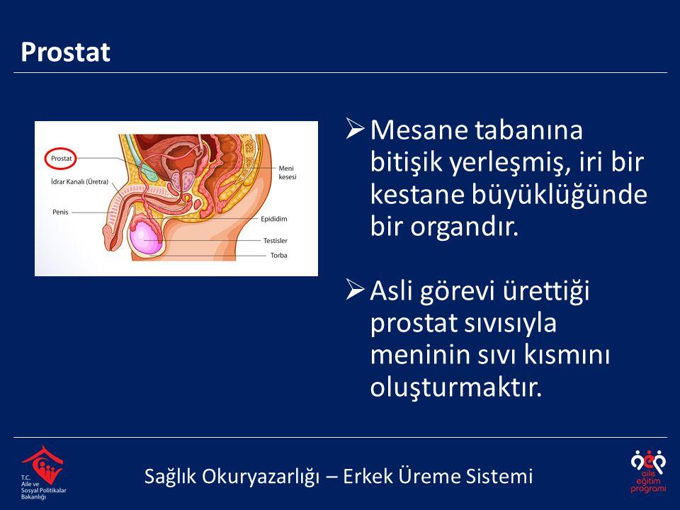 Prostat Sağlık Okuryazarlığı – Erkek Üreme Sistemi  Mesane tabanına bitişik yerleşmiş, iri bir kestane büyüklüğünde bir organdır.