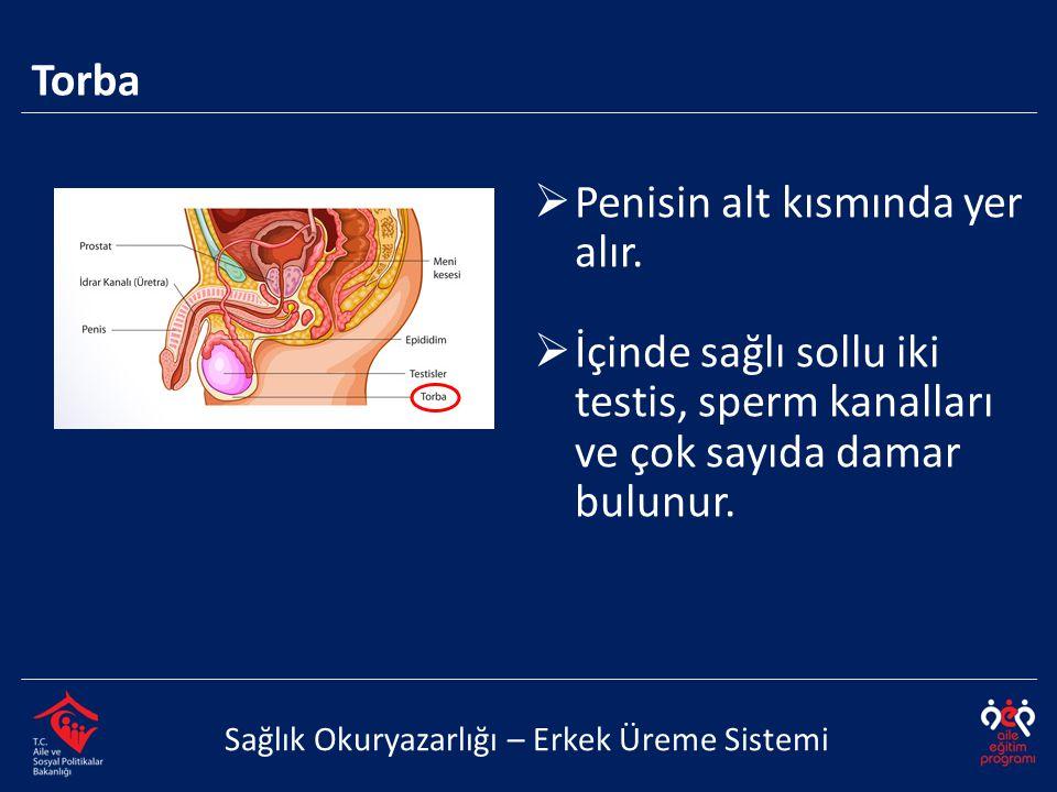 Torba Sağlık Okuryazarlığı – Erkek Üreme Sistemi  Penisin alt kısmında yer alır.