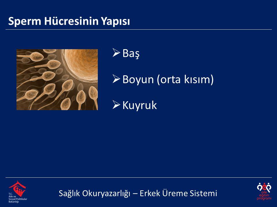 Sperm Hücresinin Yapısı Sağlık Okuryazarlığı – Erkek Üreme Sistemi  Baş  Boyun (orta kısım)  Kuyruk