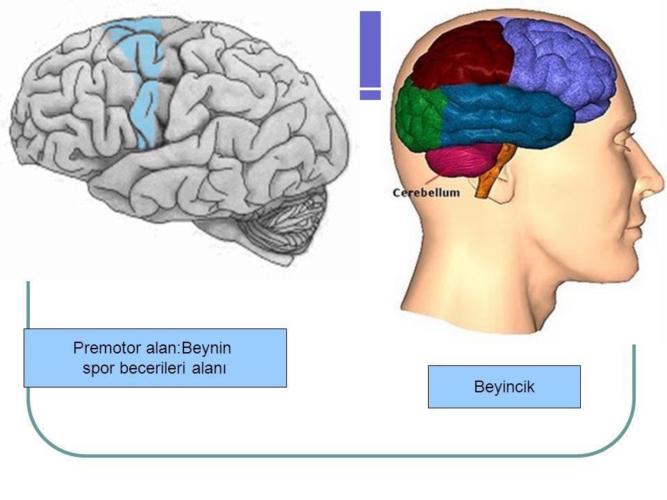 Premotor alan:Beynin spor becerileri alanı Beyincik