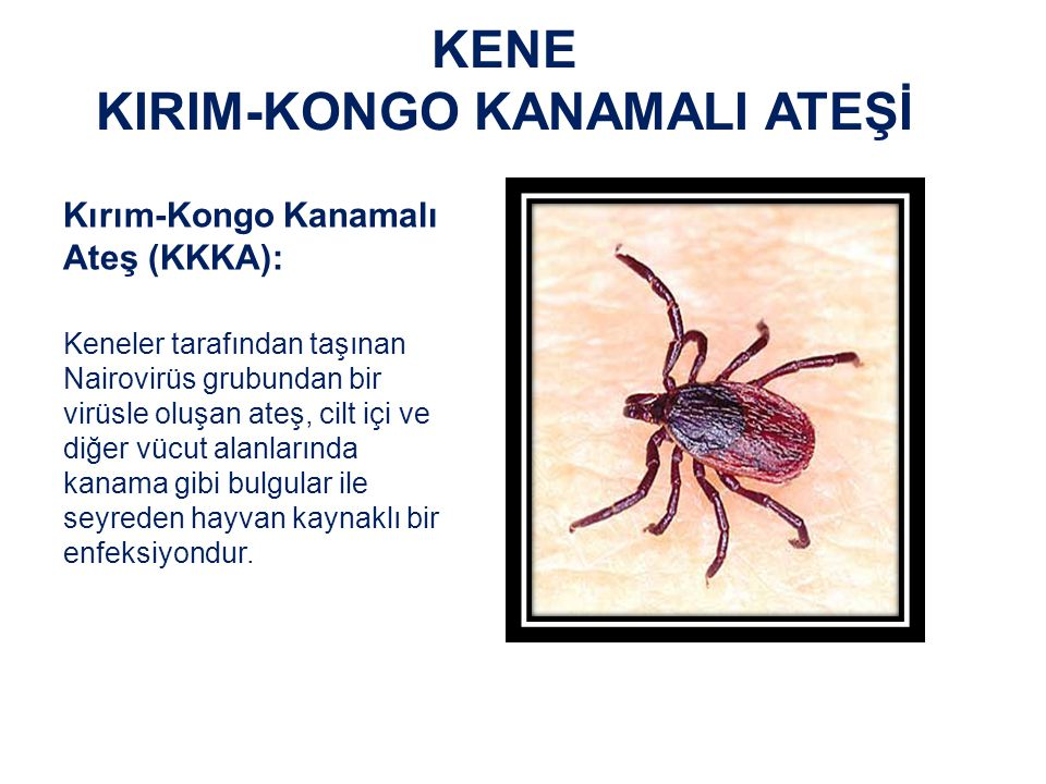 KENE KIRIM-KONGO KANAMALI ATEŞİ Kırım-Kongo Kanamalı Ateşi Virüsü Bunyaviridae familyasından Nairovirus cinsine bağlı olan insanlarda Kırım-Kongo kanamalı ateşi hastalığı'na sebep olmaktadır.