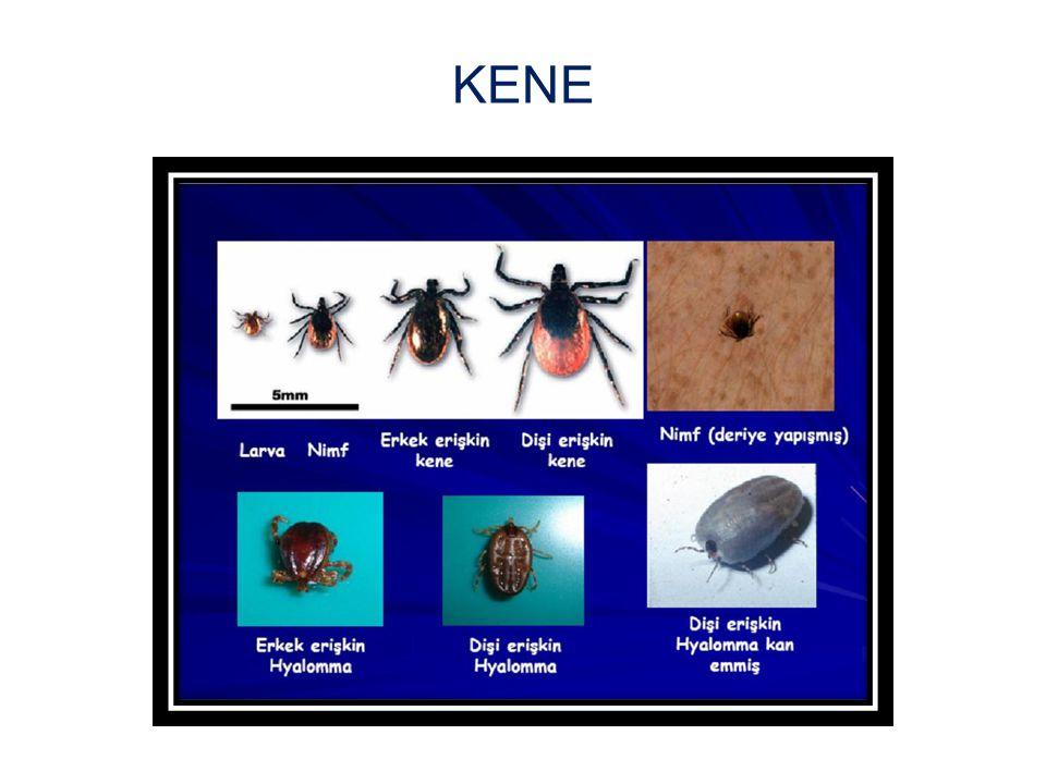 Keneler zıplamaz,uçamaz ve sinek-böcek gibi sokup kaçmaz tutunduğu yerde uzun süre kalır.