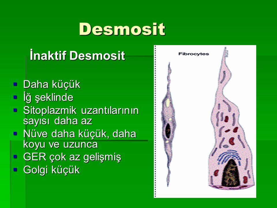 Desmosit Desmosit İnaktif Desmosit İnaktif Desmosit  Daha küçük  İğ şeklinde  Sitoplazmik uzantılarının sayısı daha az  Nüve daha küçük, daha koyu ve uzunca  GER çok az gelişmiş  Golgi küçük