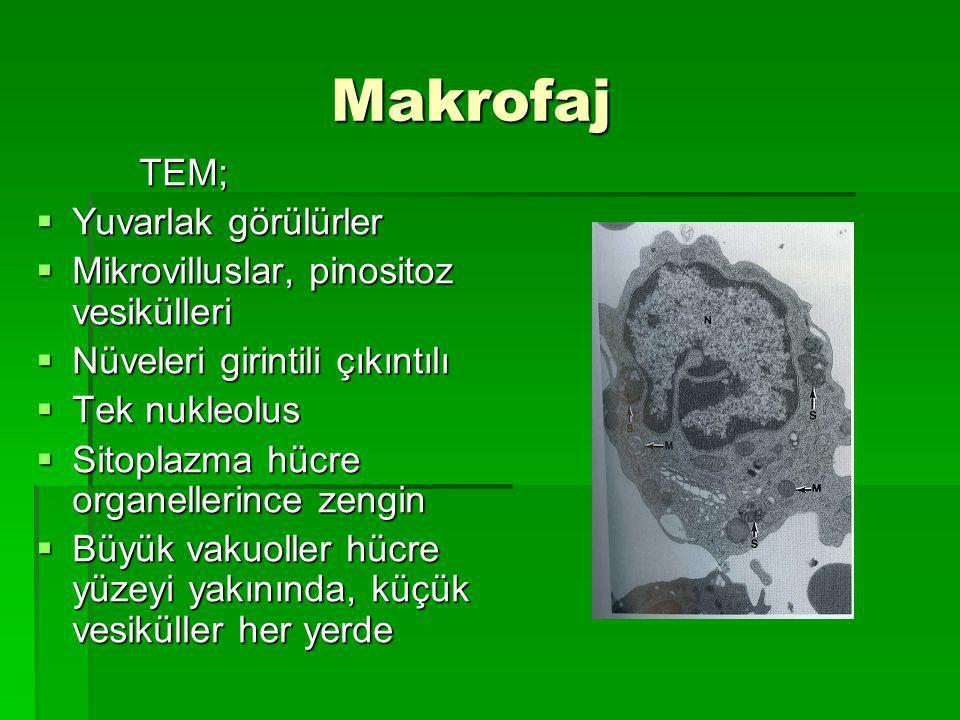 Makrofaj Makrofaj TEM; TEM;  Yuvarlak görülürler  Mikrovilluslar, pinositoz vesikülleri  Nüveleri girintili çıkıntılı  Tek nukleolus  Sitoplazma hücre organellerince zengin  Büyük vakuoller hücre yüzeyi yakınında, küçük vesiküller her yerde