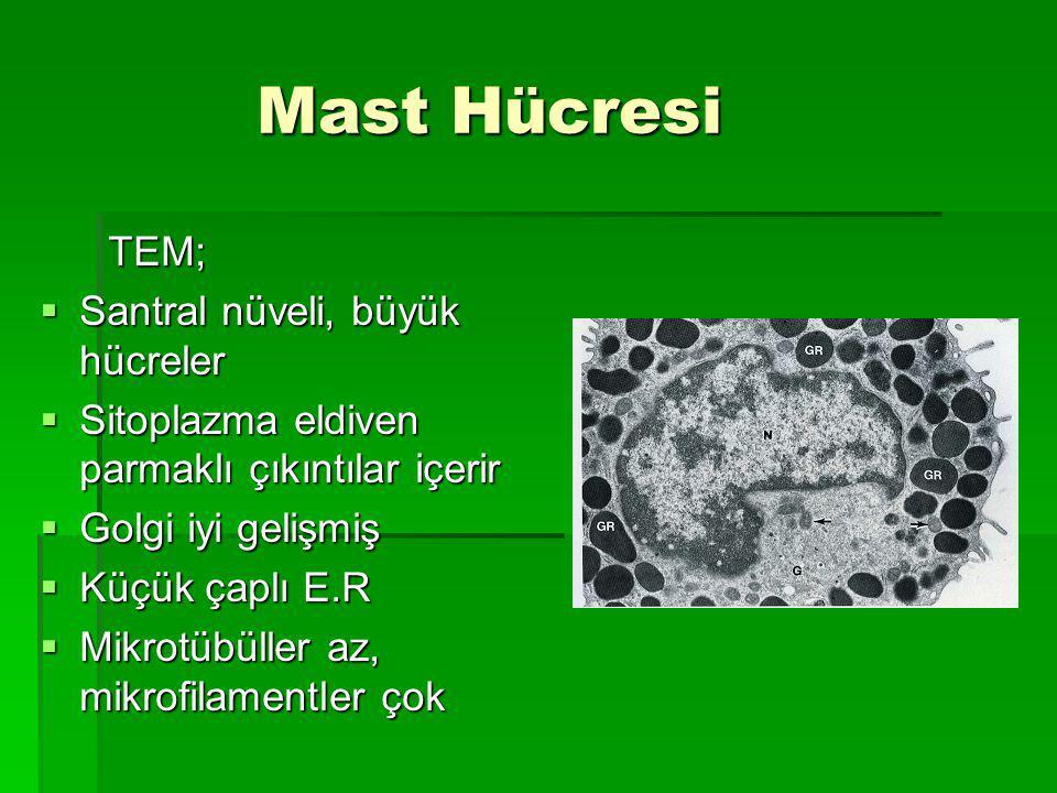 Mast Hücresi Mast Hücresi TEM; TEM;  Santral nüveli, büyük hücreler  Sitoplazma eldiven parmaklı çıkıntılar içerir  Golgi iyi gelişmiş  Küçük çaplı E.R  Mikrotübüller az, mikrofilamentler çok