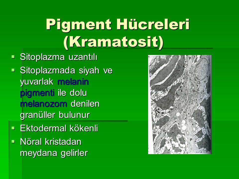 Pigment Hücreleri (Kramatosit) Pigment Hücreleri (Kramatosit)  Sitoplazma uzantılı  Sitoplazmada siyah ve yuvarlak melanin pigmenti ile dolu melanozom denilen granüller bulunur  Ektodermal kökenli  Nöral kristadan meydana gelirler