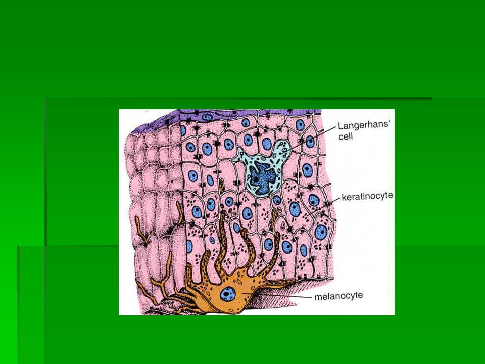 Pigment Hücresi Pigment Hücresi İNSANDA; İNSANDA; Gözde; Koroidea, İris Deride; Dermad a