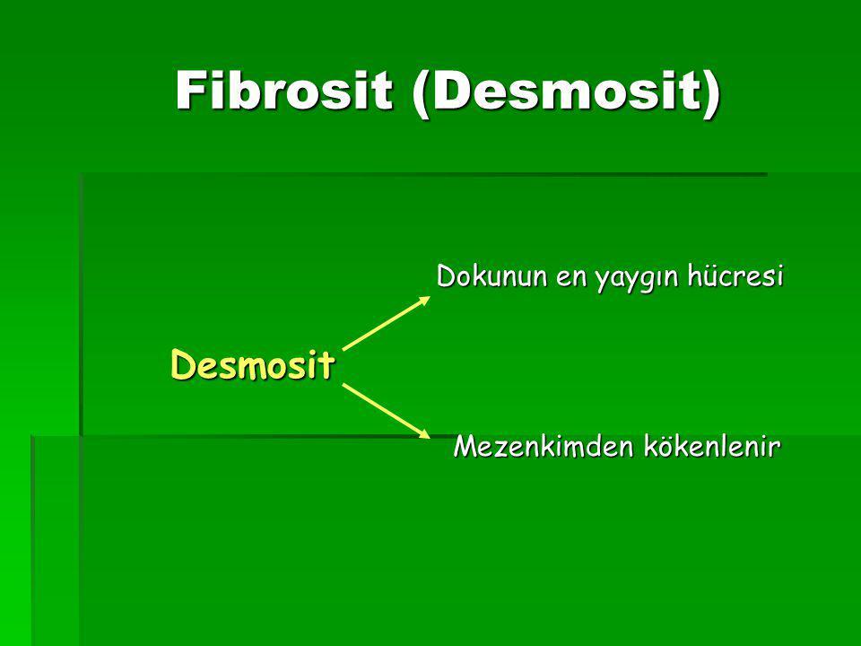 Fibrosit (Desmosit) Fibrosit (Desmosit) Dokunun en yaygın hücresi Dokunun en yaygın hücresi Desmosit Desmosit Mezenkimden kökenlenir Mezenkimden kökenlenir