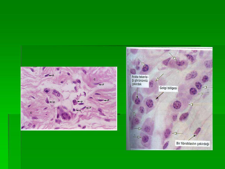 Plazmosit Plazmosit  Sitoplazma çok bazofil  Eksentrik, yuvarlak nüve  Kromatin,araba tekerleği dingilleri gibi dizilmiş  Nüve kenarında juksta- nuklear vakuol  Mitokondri noktacık şeklinde,periferde